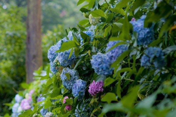 鎌倉明月院あじさい2019の開花や見頃と見どころや穴場は?