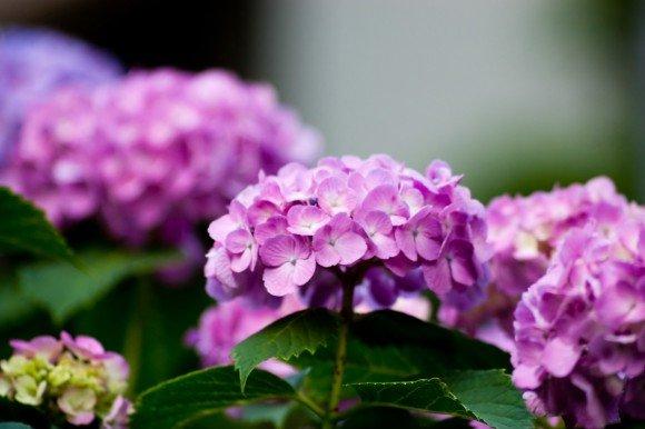 ハウステンボスあじさい祭り2019の開花や日程は?見どころやお得情報は?