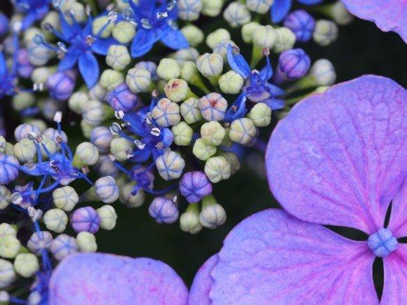 若松あじさい祭り2019の開花や日程は?駐車場や見ごろは?