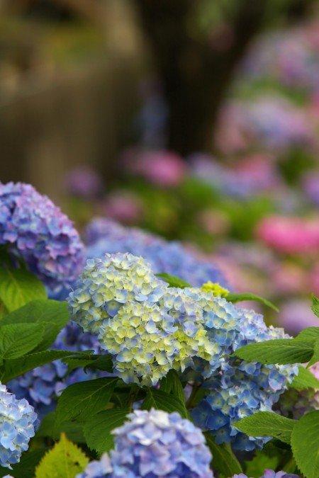 形原温泉あじさい祭り2019の開花や日程、見どころは?