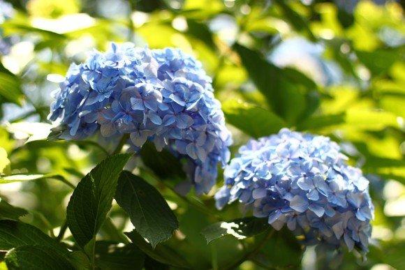 小田原城あじさい花菖蒲まつり2019の開花や日程、駐車場や見どころは?