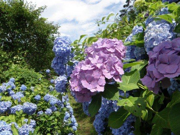 下田あじさい祭り2019の開花や日程と場所、見どころは?