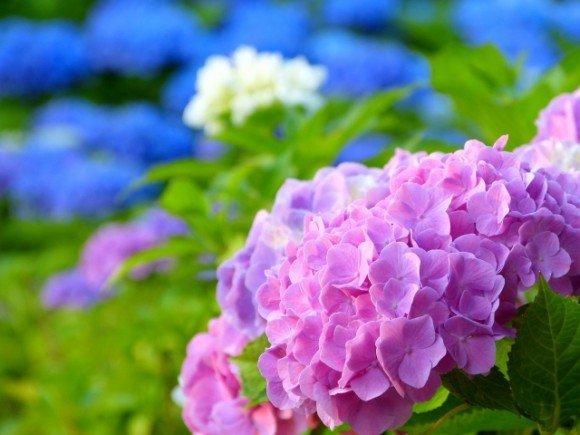 あじさいの種類や花言葉2019年の見頃とあじさい祭り