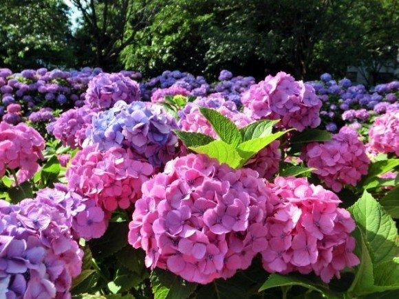 としまえんあじさい祭り2019の開花や日程、見頃やお得情報は?