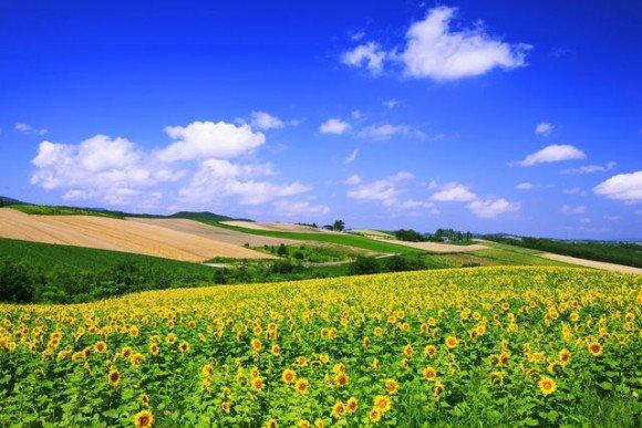 北海道のひまわり畑の名所と見頃の時期はいつ?