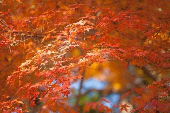 嵯峨野トロッコ紅葉ライトアップの見ごろ時期や保津川下り!