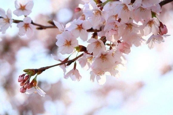 千葉の桜・花見の名所や穴場おすすめ10選と開花情報2020!