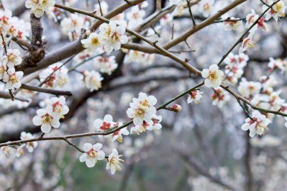 賀名生梅林の梅の見頃や開花状況2020と駐車場は?