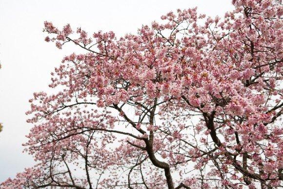 綾部山梅林の梅の見頃や開花状況2020と駐車場は?