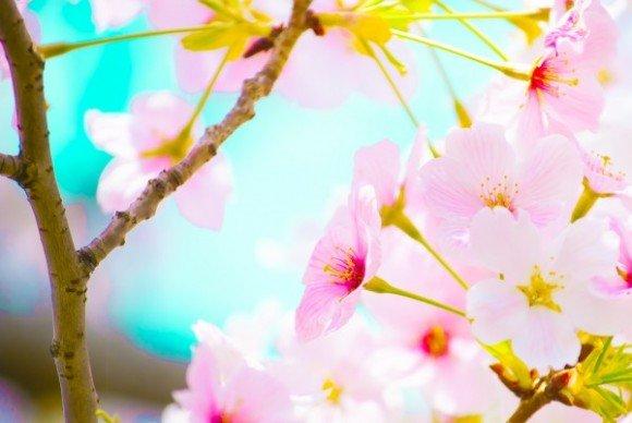 松川公園(富山)2019の桜の開花状況と見頃時期!