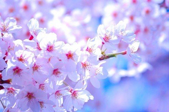桧木内川堤の桜並木(ソメイヨシノ)2019の開花状況と見頃時期!