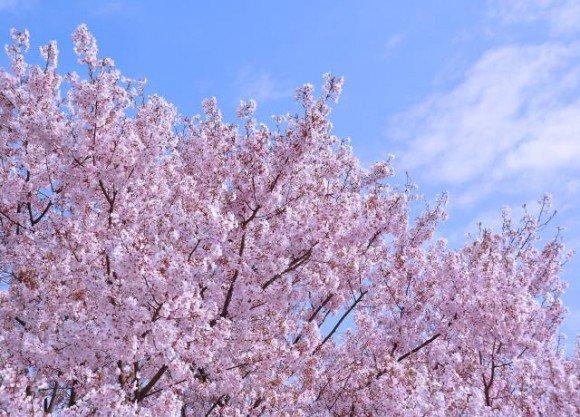 福岡の桜(花見)名所や穴場おすすめ10選と開花情報2019!