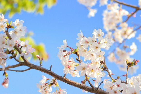 臥竜公園の桜(桜祭り)2019の開花と見頃やライトアップ!