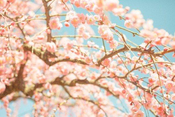 いなべ市梅林公園の梅まつり2020の見頃の時期や開花状況は?