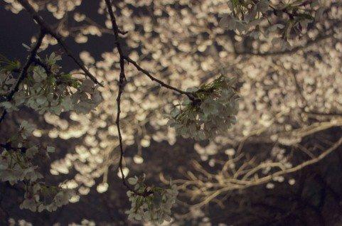 広島の夜桜ライトアップの名所や穴場スポット10選!