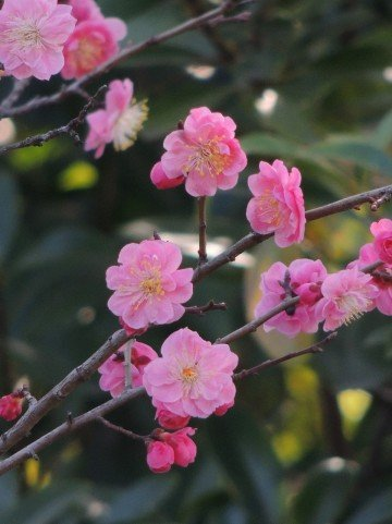 羽根木公園せたがや梅まつり2019の見頃の時期や開花状況は?