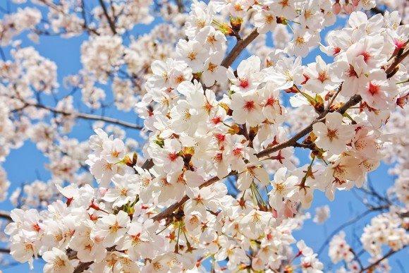 角館桜まつり2019桜の開花予想と見頃や駐車場情報!