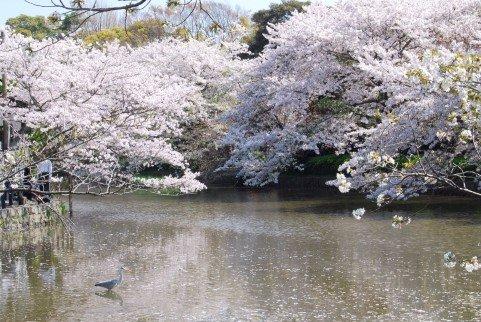 鎌倉の桜2020の開花時期と花見の名所や穴場おすすめ10選!