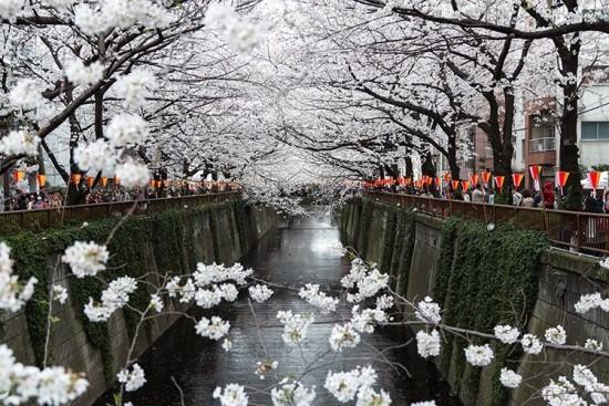千鳥ケ淵公園の桜やお花見2019の見頃や開花状況!