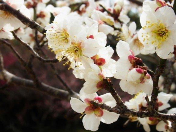 箕郷梅林の梅まつり2020の見頃の時期や開花状況は?