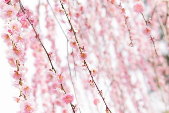 曽我梅林の梅まつり2019梅の見頃や開花状況は?