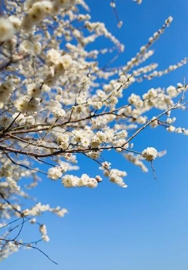 越生梅林の梅まつり2019梅の見頃や開花状況は?