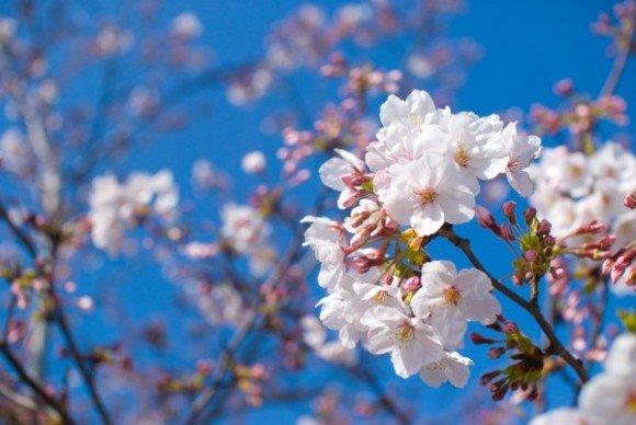 岡崎公園の桜(桜祭り)2019の開花状況と見頃時期!