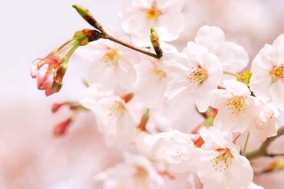 一心行の大桜2019の開花予想や見頃とライトアップ情報!