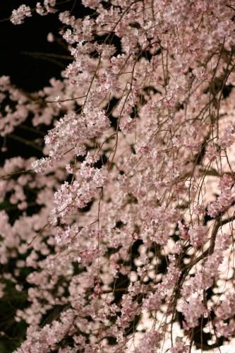 六義園の桜2019の見頃や開花状況とライトアップ!