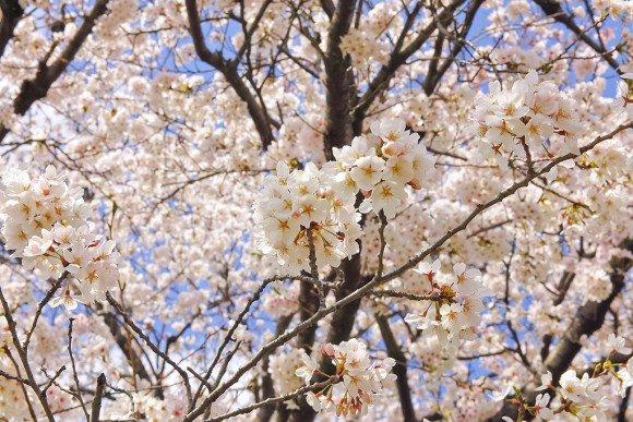 船岡城址公園の桜(桜祭り)2019の開花状況と見頃時期!
