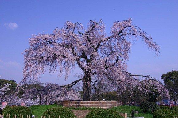 しだれ桜2019の名所おススメ8選と開花時期や見頃時期!