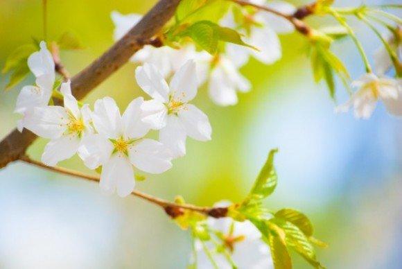 新境川堤の桜(百十朗桜)2019の開花状況と見頃時期!