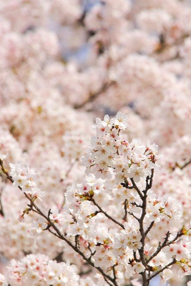 熊谷桜堤の桜(桜祭り)2019の開花状況と見頃時期!