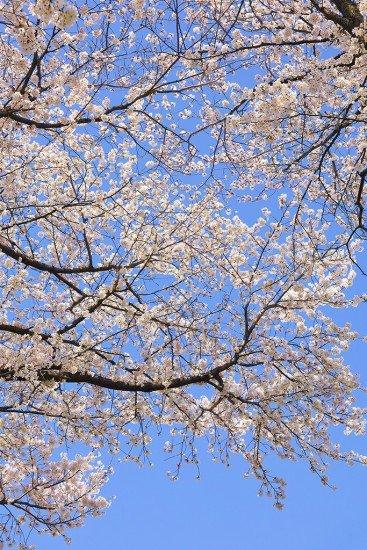 隅田公園の桜(桜祭り)2019の開花状況と見頃時期!