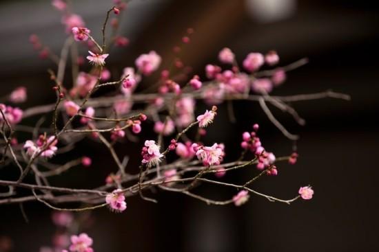高尾梅郷梅まつり2020の見頃の時期や開花状況は?