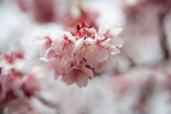 三春滝桜2019の開花状況や見頃と駐車場やアクセス方法!