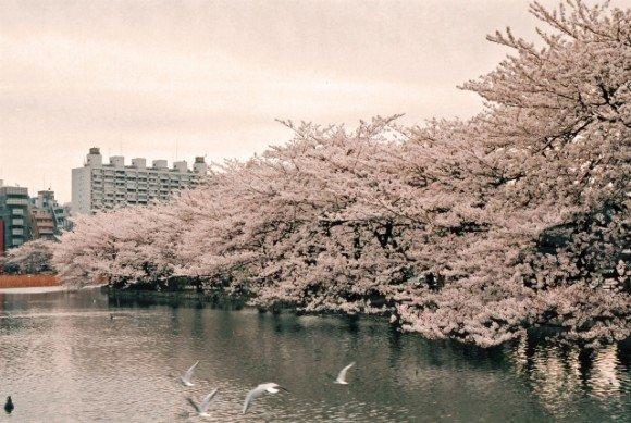 上野公園の桜2019の開花予想や見頃とアクセス方法!