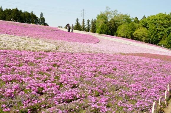 秩父羊山公園の芝桜2019の開花状況と見頃時期!