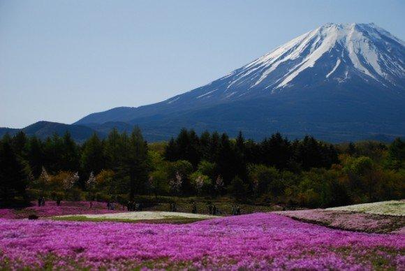 富士芝桜まつり2019の見頃や開花状況と駐車場は?