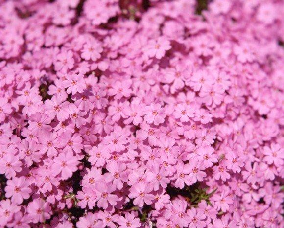 市貝町の芝桜2019の開花状況や見頃の時期!