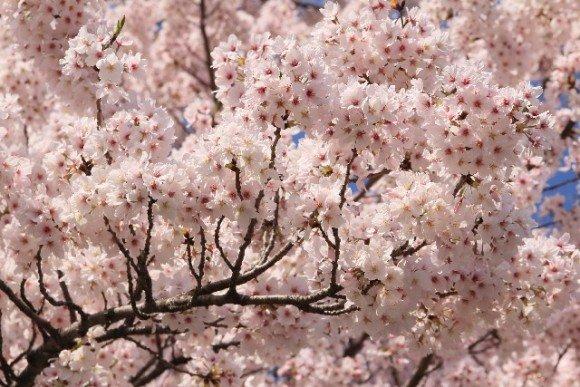 円山公園の桜・花見2019開花情報と夜桜ライトアップ!