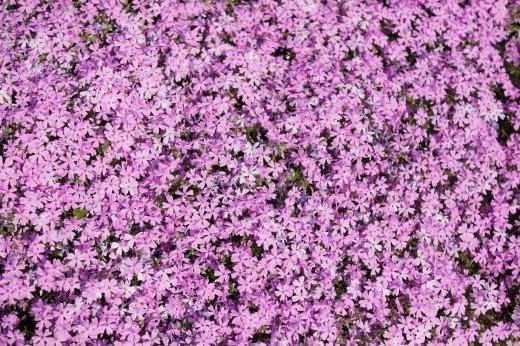 世羅高原の芝桜2019の開花情報や見頃と駐車場は?