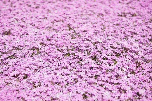 滝上町の芝桜まつり2019の開花状況や見頃の時期!