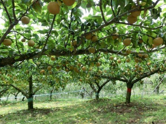 関東の梨狩りおすすめ人気スポット!美味しい時期は?