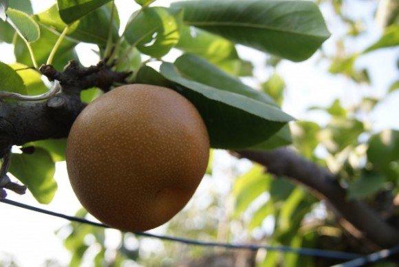 長野の梨狩りの時期とおすすめ人気スポット!