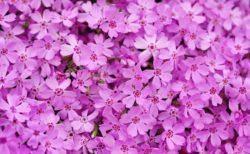 国田家の芝桜2019の開花情報や見頃!